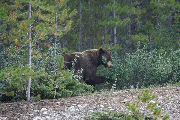 Unser erster Grizzly in freier Wildbahn