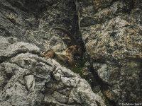 Der Steinbock versuchte sich zu verstecken